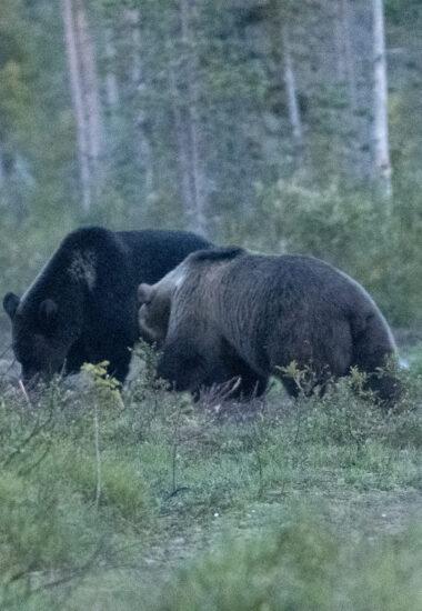 Auf Bärenschau gehen!